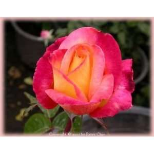 and Peace (Rosa Hybrid Tea)   Bare Root Rose Patio, Lawn & Garden