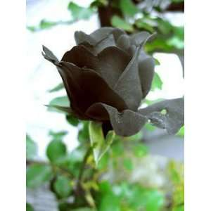 Black rose 5 seeds great house patio or garden plant