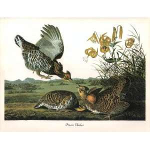 Prairie Chicken (8 1/2 by 11 1/2 Color Print)