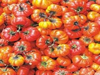 Hmong Red Ruffled Heirloom Eggplant (Solanum melongena) Seeds